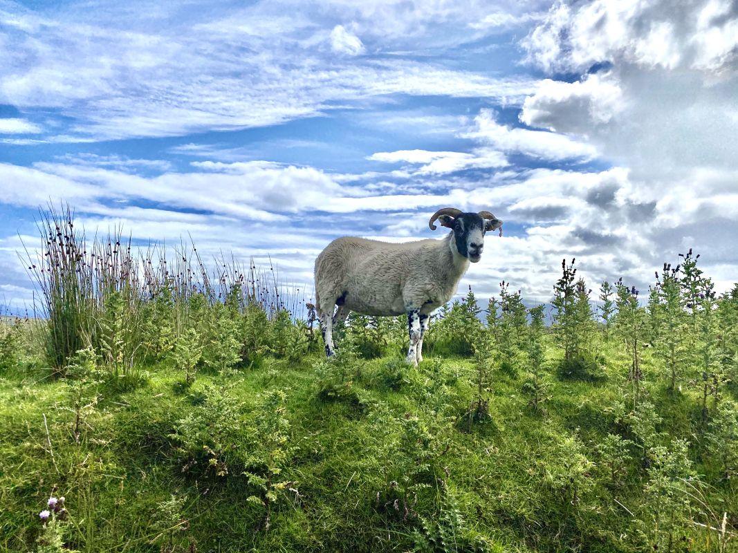 Schafe statt Hochlandrind